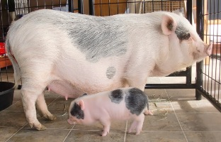 Pocket Pigs Full Grown Pictures to Pin on Pinterest ...