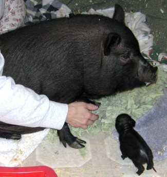 how to look after a micro pig